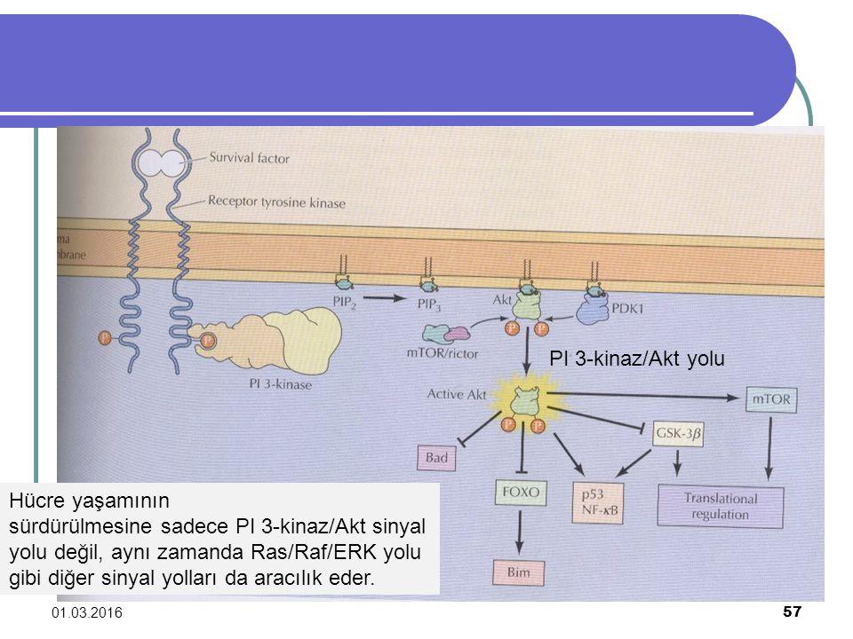01.03.2016 57 PI 3-kinaz/Akt yolu Hücre yaşamının sürdürülmesine sadece PI 3-kinaz/Akt sinyal yolu değil, aynı zamanda Ras/Raf/ERK yolu gibi diğer sin