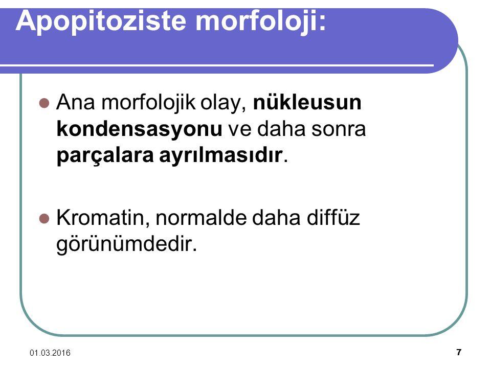 01.03.2016 7 Apopitoziste morfoloji: Ana morfolojik olay, nükleusun kondensasyonu ve daha sonra parçalara ayrılmasıdır. Kromatin, normalde daha diffüz