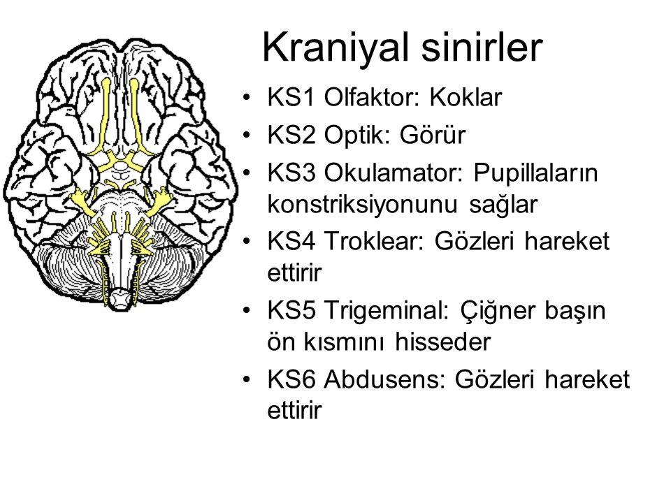 Kraniyal sinirler KS1 Olfaktor: Koklar KS2 Optik: Görür KS3 Okulamator: Pupillaların konstriksiyonunu sağlar KS4 Troklear: Gözleri hareket ettirir KS5