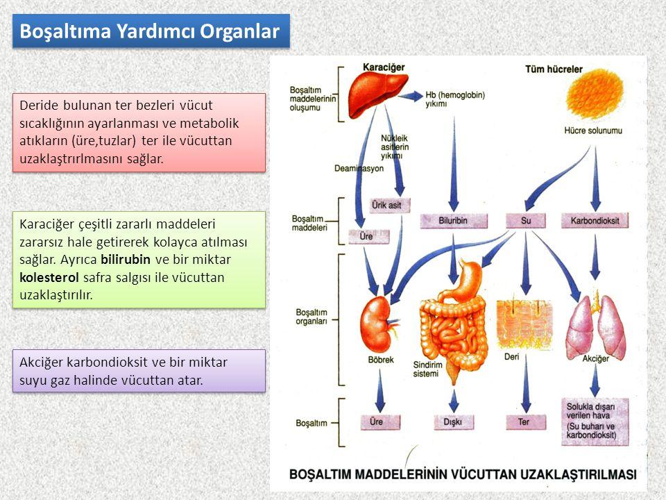 Boşaltıma Yardımcı Organlar Deride bulunan ter bezleri vücut sıcaklığının ayarlanması ve metabolik atıkların (üre,tuzlar) ter ile vücuttan uzaklaştrır