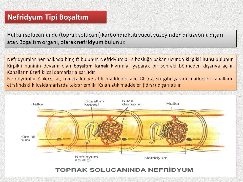 Nefridyum Tipi Boşaltım Halkalı solucanlar da (toprak solucanı) karbondioksiti vücut yüzeyinden difüzyonla dışarı atar. Boşaltım organı, olarak nefrid