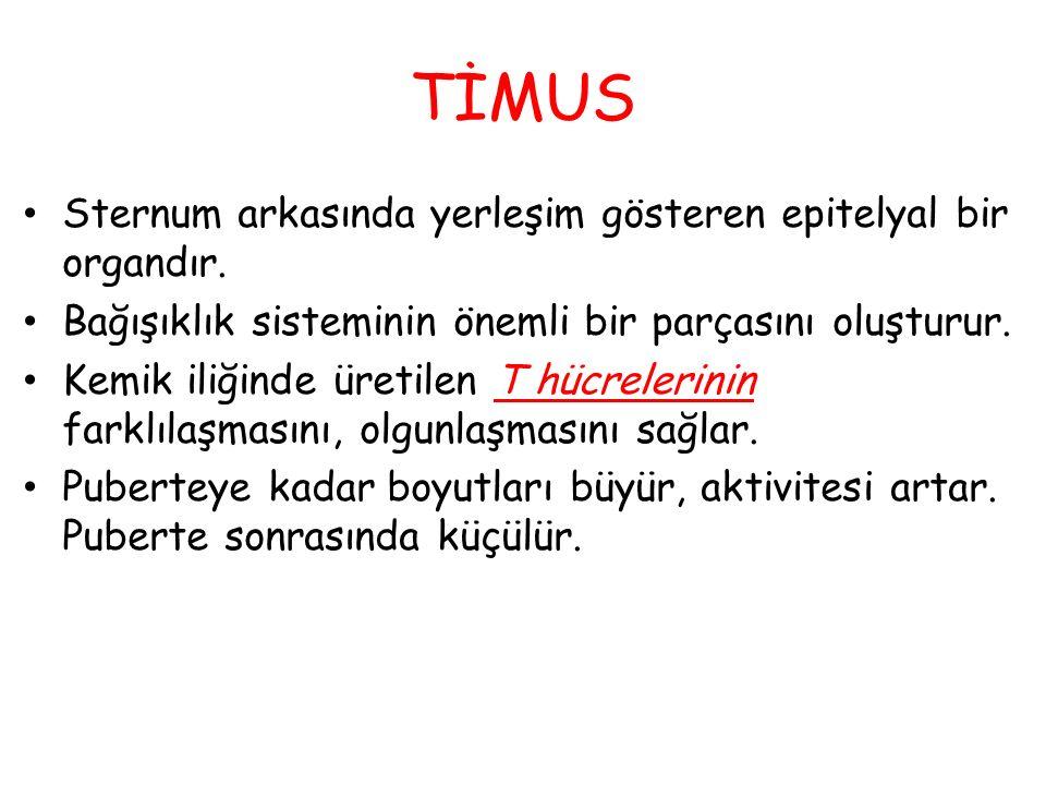 TİMUS Sternum arkasında yerleşim gösteren epitelyal bir organdır. Bağışıklık sisteminin önemli bir parçasını oluşturur. Kemik iliğinde üretilen T hücr