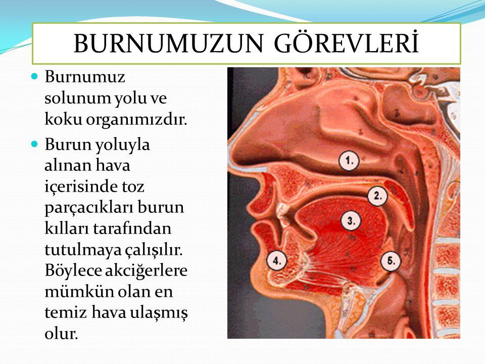 Burnumuz solunum yolu ve koku organımızdır. Burun yoluyla alınan hava içerisinde toz parçacıkları burun kılları tarafından tutulmaya çalışılır. Böylec
