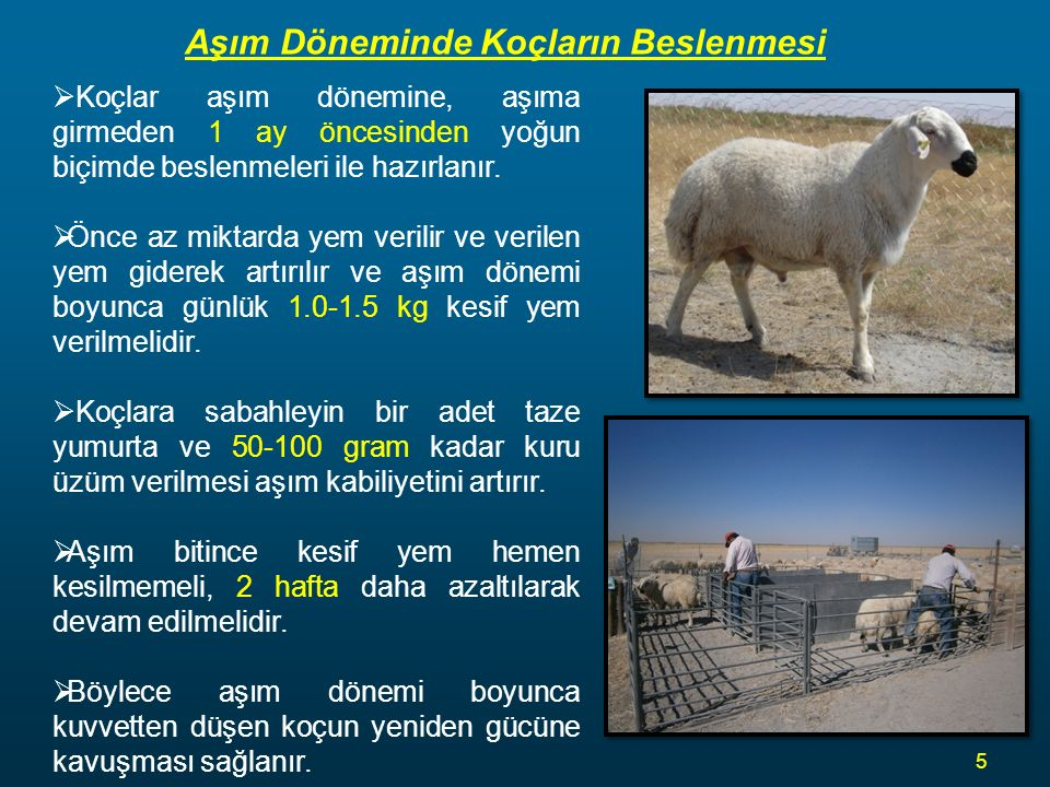 Aşım Döneminde Koçların Beslenmesi  Koçlar aşım dönemine, aşıma girmeden 1 ay öncesinden yoğun biçimde beslenmeleri ile hazırlanır.