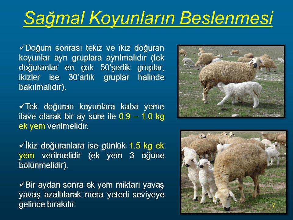 Sağmal Koyunların Beslenmesi Doğum sonrası tekiz ve ikiz doğuran koyunlar ayrı gruplara ayrılmalıdır (tek doğuranlar en çok 50'şerlik gruplar, ikizler ise 30'arlık gruplar halinde bakılmalıdır).
