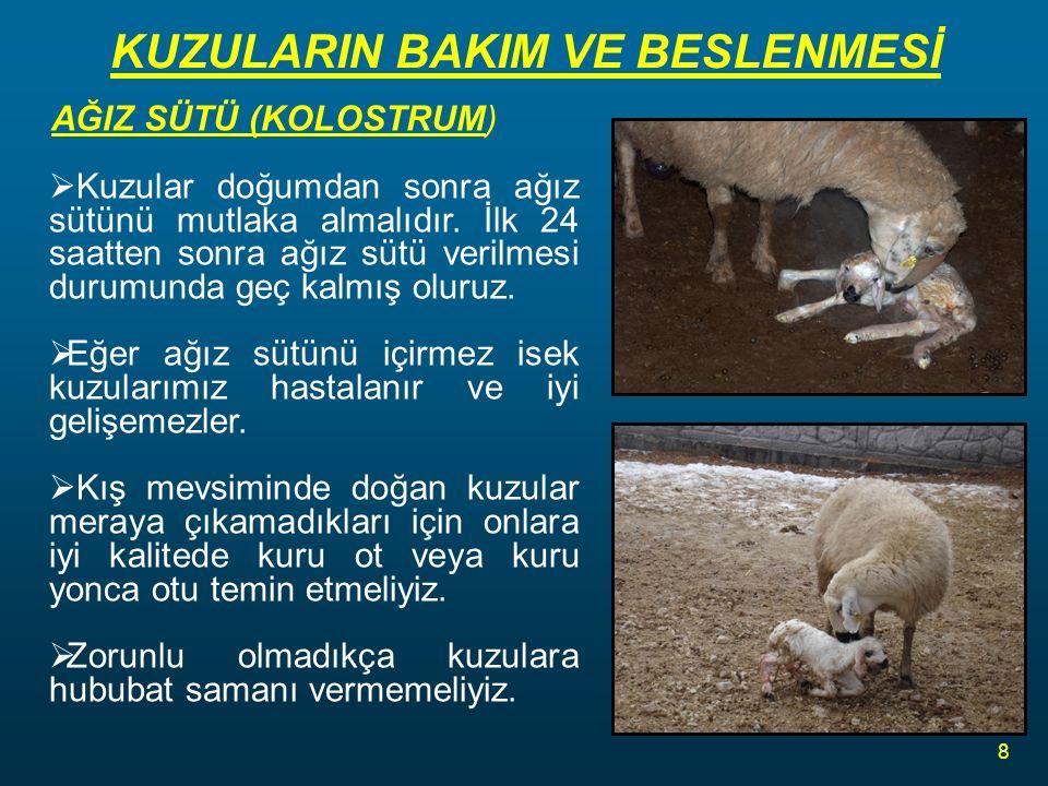 KUZULARIN BAKIM VE BESLENMESİ AĞIZ SÜTÜ (KOLOSTRUM)  Kuzular doğumdan sonra ağız sütünü mutlaka almalıdır.