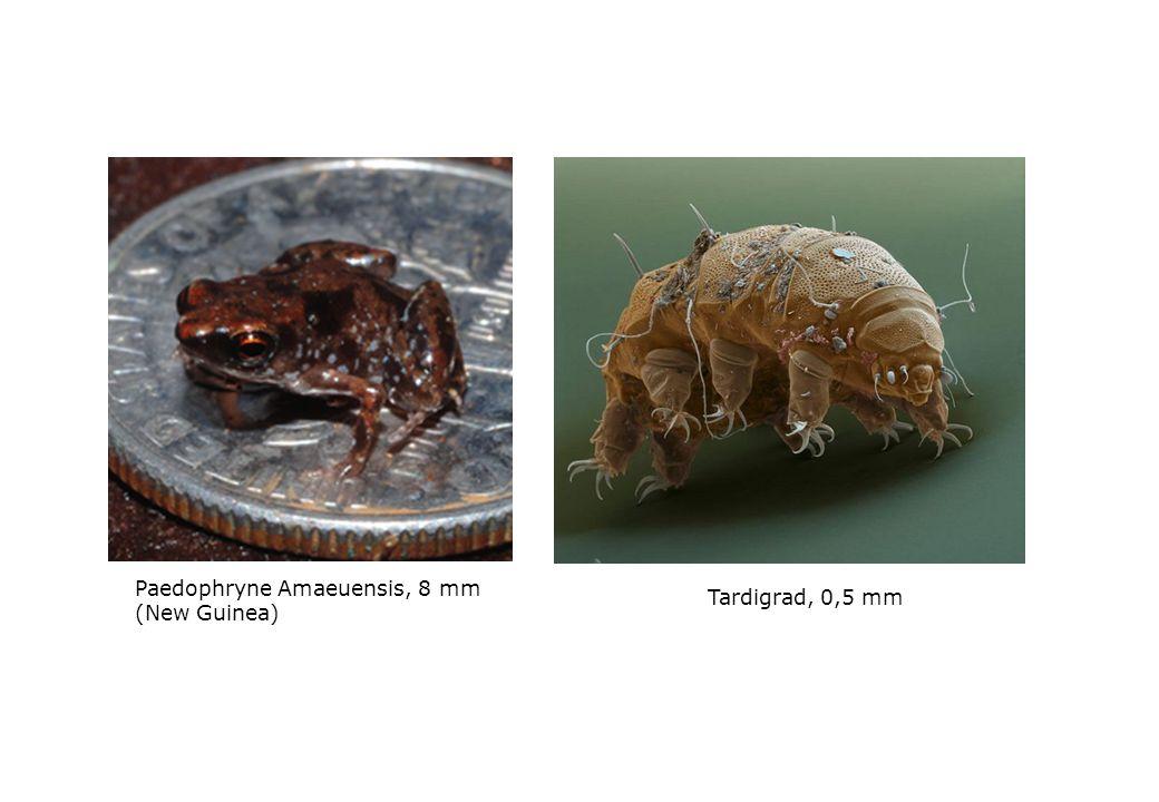 Paedophryne Amaeuensis, 8 mm (New Guinea) Tardigrad, 0,5 mm