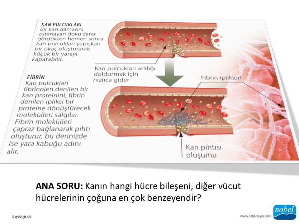 ANA SORU: Kanın hangi hücre bileşeni, diğer vücut hücrelerinin çoğuna en çok benzeyendir