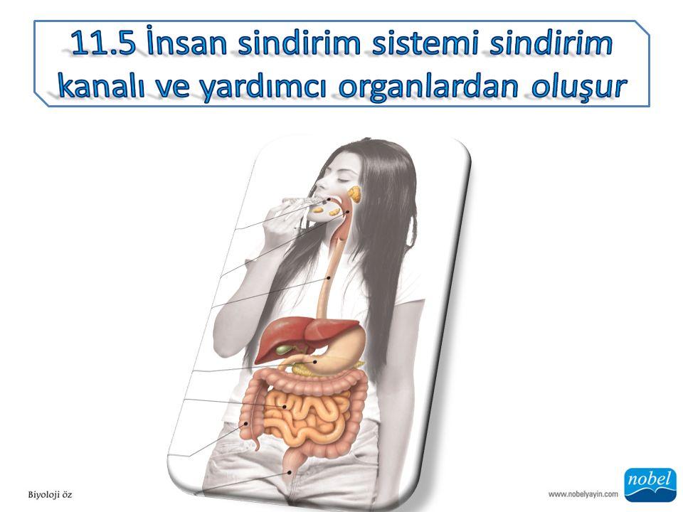 ANA SORU: Sindirim sisteminin en önemli işlevi besin maddelerinin emilimi ise bundan hangi organ esas sorumludur?