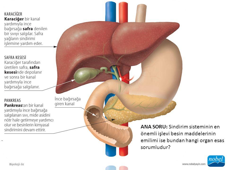 ANA SORU: Sindirim sisteminin en önemli işlevi besin maddelerinin emilimi ise bundan hangi organ esas sorumludur