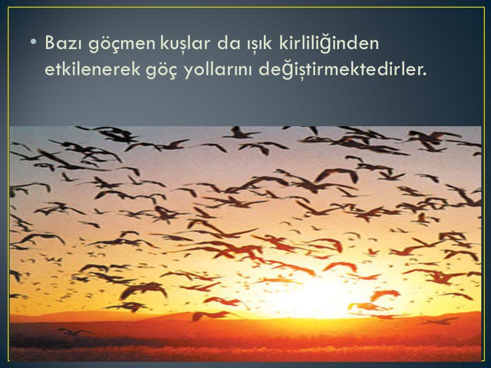 Bazı göçmen kuşlar da ışık kirlili ğ inden etkilenerek göç yollarını de ğ iştirmektedirler.