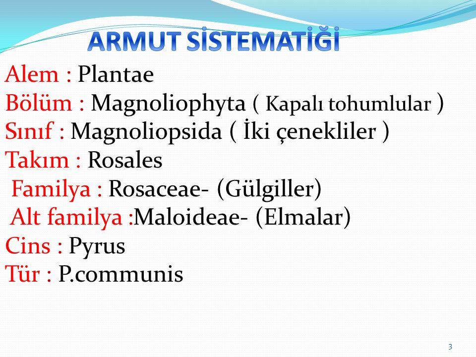 Alem : Plantae Bölüm : Magnoliophyta ( Kapalı tohumlular ) Sınıf : Magnoliopsida ( İki çenekliler ) Takım : Rosales Familya : Rosaceae- (Gülgiller) Alt familya :Maloideae- (Elmalar) Cins : Pyrus Tür : P.communis 3