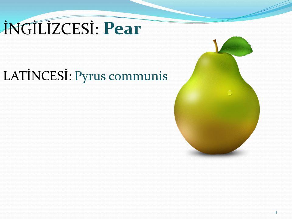 4 İNGİLİZCESİ: Pear LATİNCESİ: Pyrus communis
