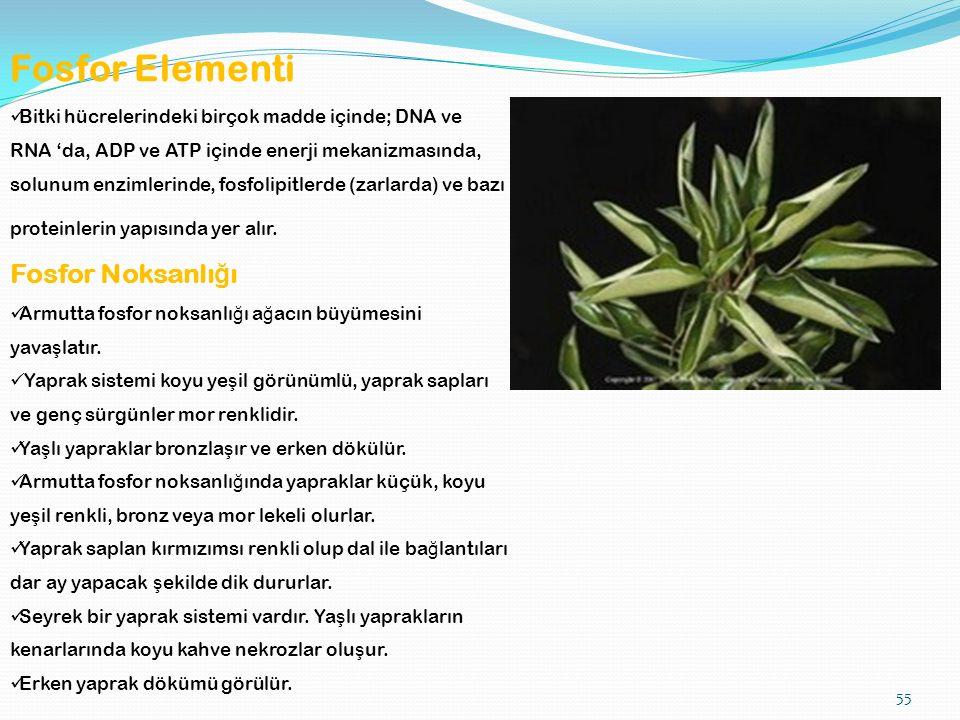 55 Fosfor Elementi Bitki hücrelerindeki birçok madde içinde; DNA ve RNA 'da, ADP ve ATP içinde enerji mekanizmasında, solunum enzimlerinde, fosfolipitlerde (zarlarda) ve bazı proteinlerin yapısında yer alır.