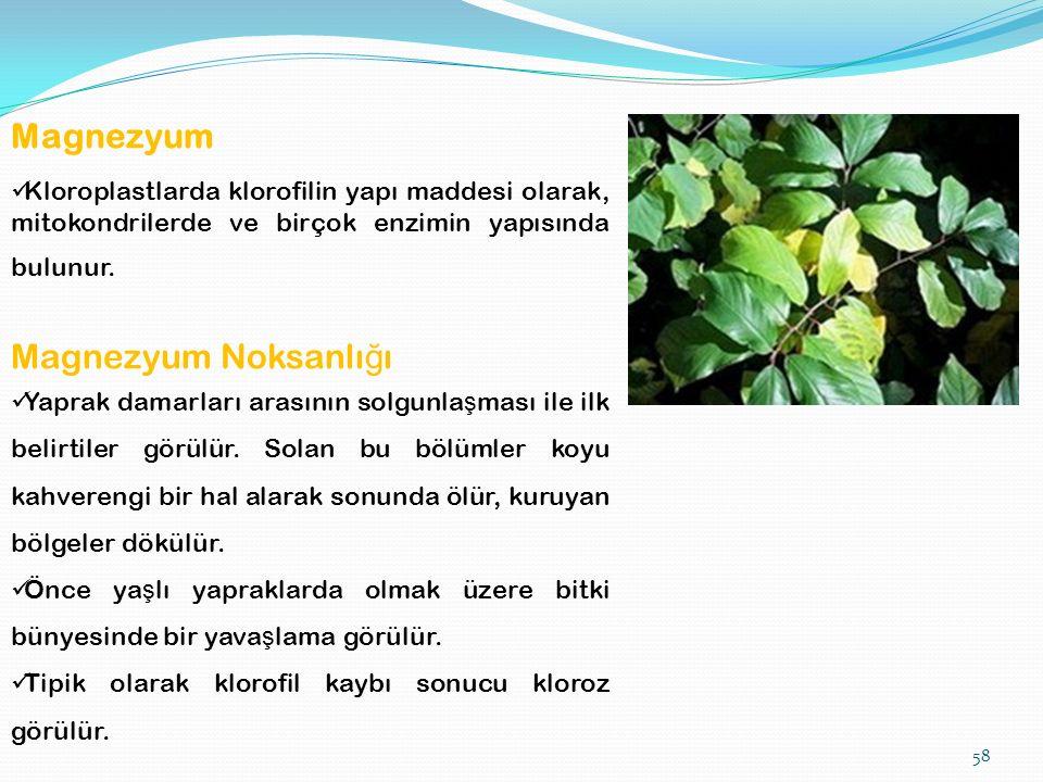 58 Magnezyum Kloroplastlarda klorofilin yapı maddesi olarak, mitokondrilerde ve birçok enzimin yapısında bulunur.