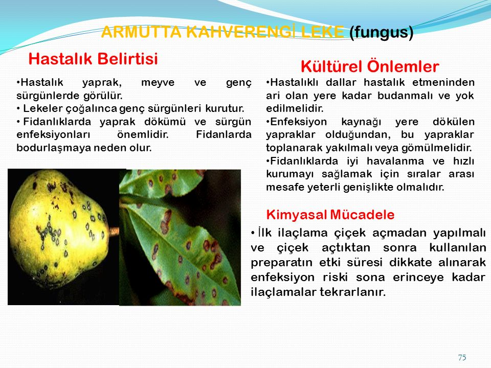 ARMUTTA KAHVERENG İ LEKE (fungus) Hastalık Belirtisi Hastalık yaprak, meyve ve genç sürgünlerde görülür.