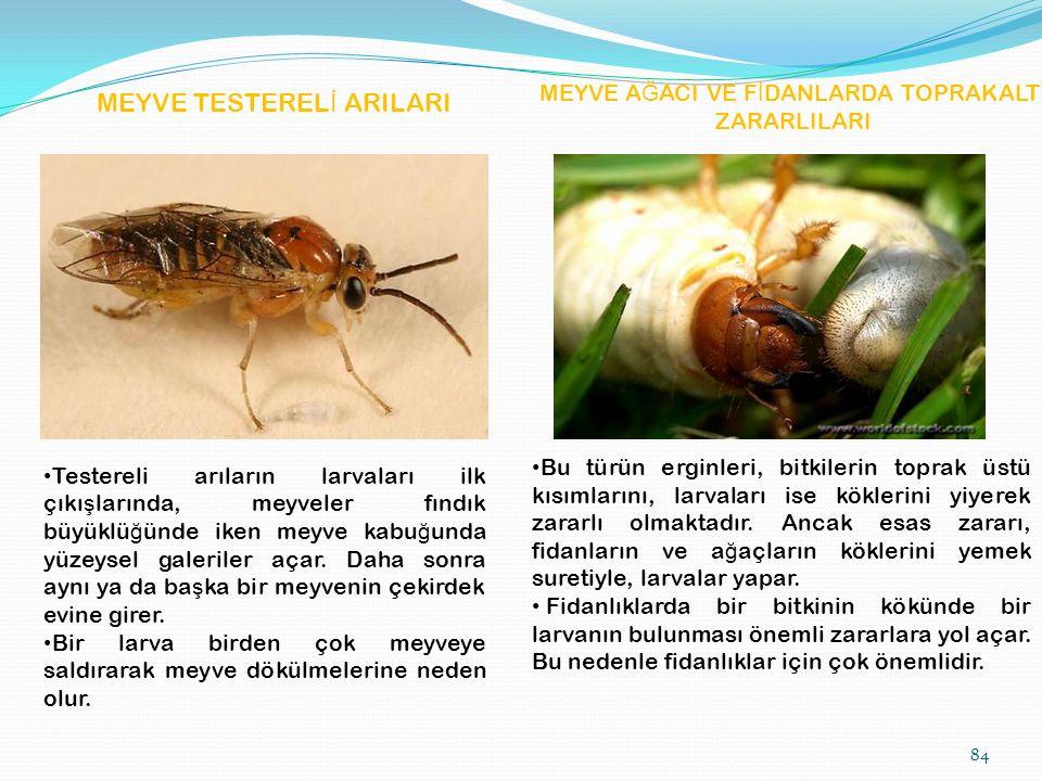 MEYVE A Ğ ACI VE F İ DANLARDA TOPRAKALTI ZARARLILARI MEYVE TESTEREL İ ARILARI Testereli arıların larvaları ilk çıkı ş larında, meyveler fındık büyüklü ğ ünde iken meyve kabu ğ unda yüzeysel galeriler açar.
