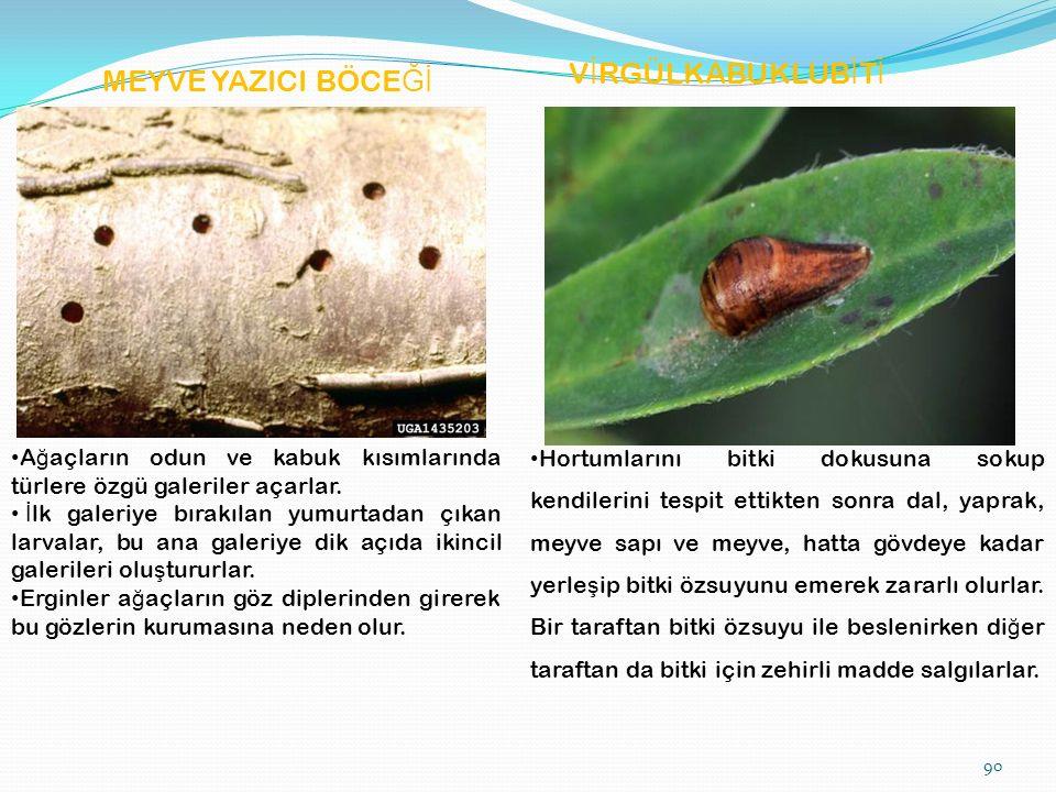 MEYVE YAZICI BÖCE Ğİ V İ RGÜLKABUKLUB İ T İ A ğ açların odun ve kabuk kısımlarında türlere özgü galeriler açarlar.