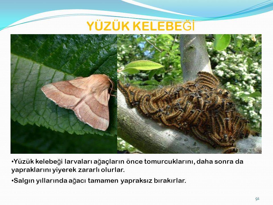 YÜZÜK KELEBE Ğİ Yüzük kelebe ğ i larvaları a ğ açların önce tomurcuklarını, daha sonra da yapraklarını yiyerek zararlı olurlar.