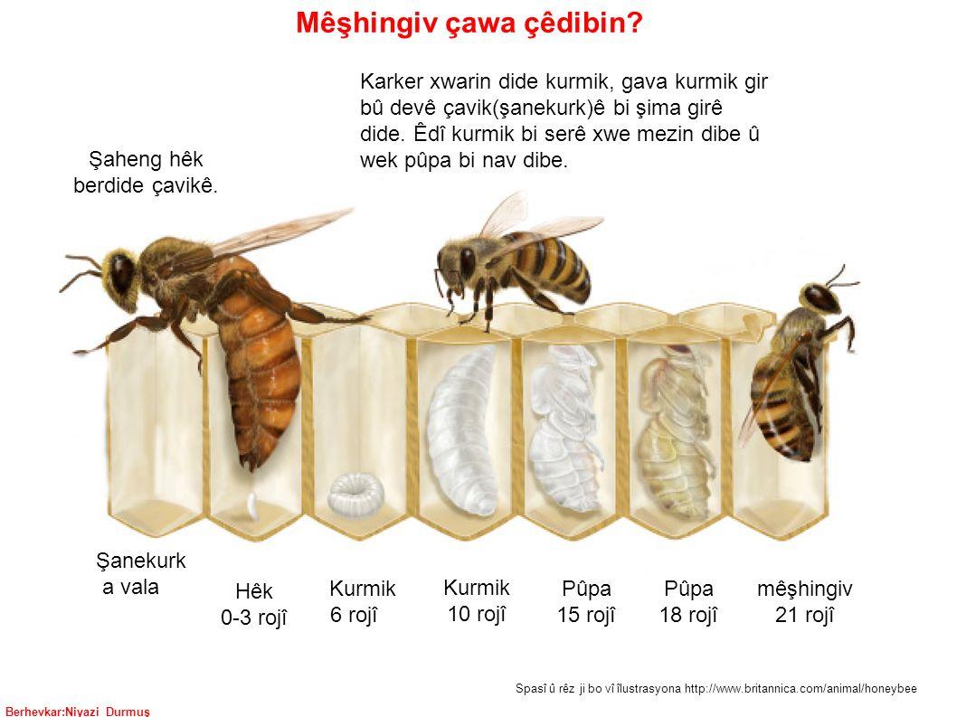 Berhevkar:Niyazi Durmuş Hêk 0-3 rojî Kurmik 6 rojî Kurmik 10 rojî Pûpa 15 rojî Pûpa 18 rojî mêşhingiv 21 rojî Şaheng hêk berdide çavikê.