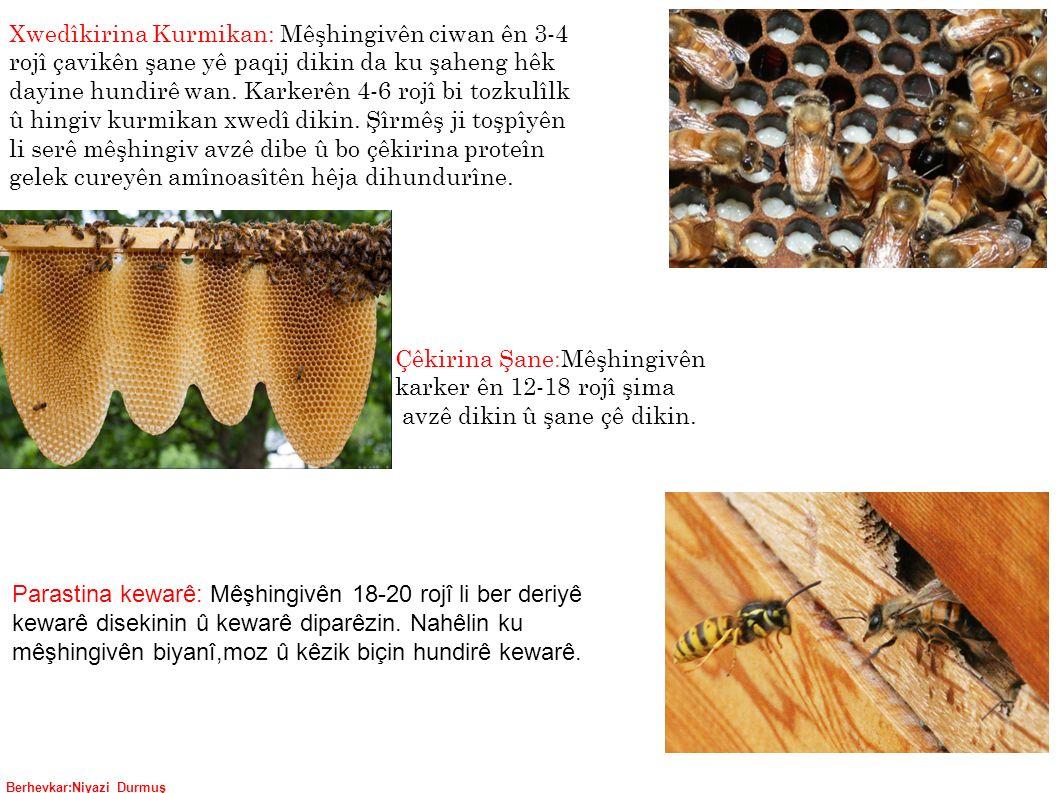 Berhevkar:Niyazi Durmuş Parastina kewarê: Mêşhingivên 18-20 rojî li ber deriyê kewarê disekinin û kewarê diparêzin.