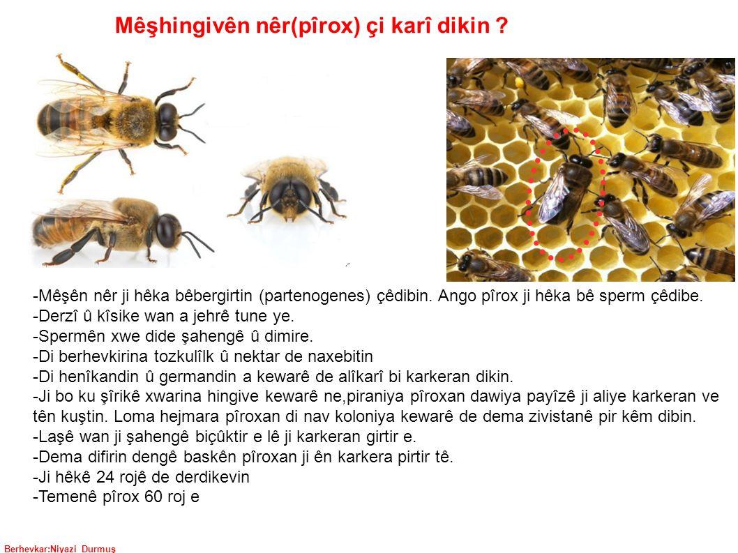 Berhevkar:Niyazi Durmuş Mêşhingivên nêr(pîrox) çi karî dikin .