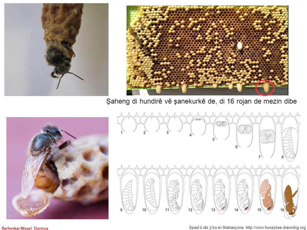 Berhevkar:Niyazi Durmuş Şaheng di hundirê vê şanekurkê de, di 16 rojan de mezin dibe Spasî û rêz ji bo ev îlûstrasyona http://www.honeybee.drawwîng.org