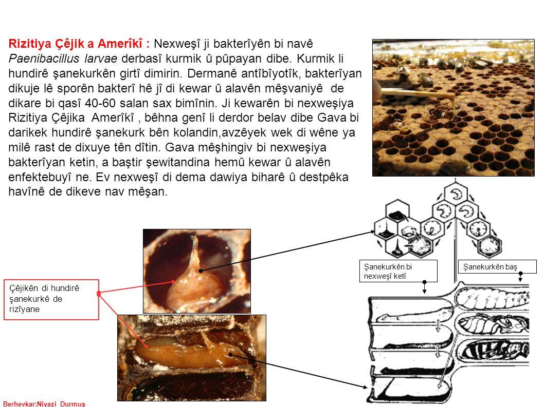 Berhevkar:Niyazi Durmuş Rizitiya Çêjik a Amerîkî : Nexweşî ji bakterîyên bi navê Paenibacillus larvae derbasî kurmik û pûpayan dibe.