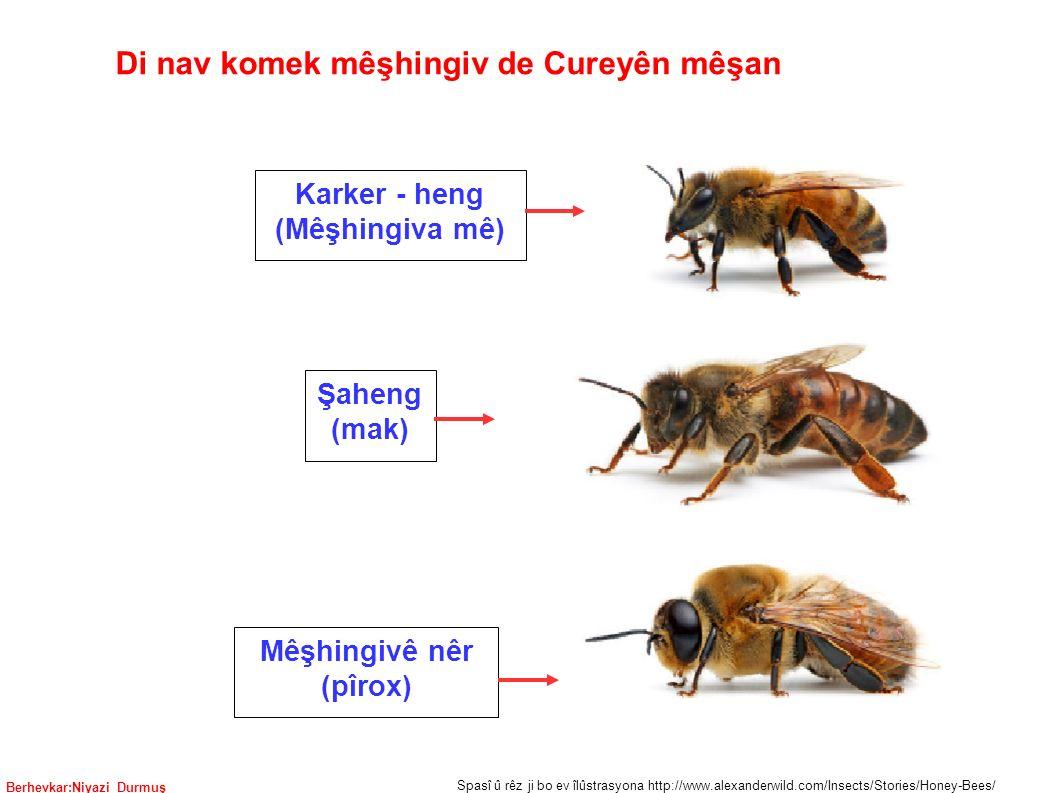 Berhevkar:Niyazi Durmuş Karker - heng (Mêşhingiva mê) Mêşhingivê nêr (pîrox) Şaheng (mak) Spasî û rêz ji bo ev îlûstrasyona http://www.alexanderwild.com/Insects/Stories/Honey-Bees/ Di nav komek mêşhingiv de Cureyên mêşan