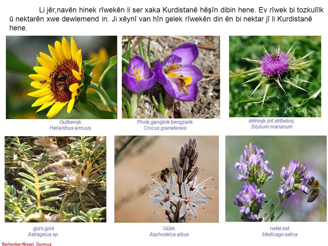 Berhevkar:Niyazi Durmuş strîmişk,zirî,strîbeloq Silybum marianum nefel,ket Medicago sativa güni,goni Astragalus sp.