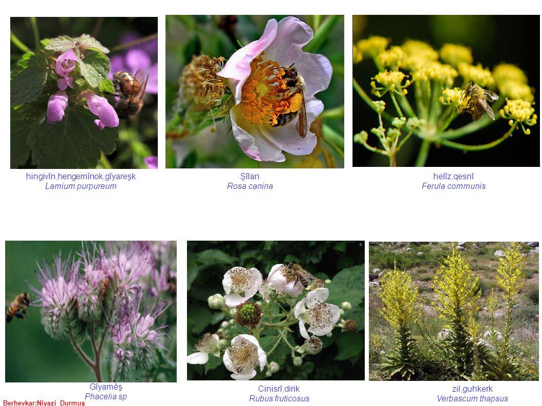 Berhevkar:Niyazi Durmuş Şîlan Rosa canina helîz,qesnî Ferula communis hingivîn,hengemînok,gîyareşk Lamium purpureum zil,guhkerk Verbascum thapsus Cinisrî,dirik Rubus fruticosus Gîyamêş Phacelia sp
