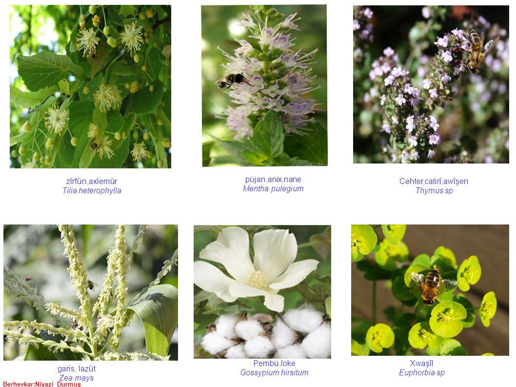 Berhevkar:Niyazi Durmuş zîrfûn,axlemûr Tilia heterophylla püjan,anix,nane Mentha pulegium garis, lazût Zea mays Xwaşîl Euphorbia sp Cehter,catirî,awîşen Thymus sp Pembü,loke Gossypium hirsitum