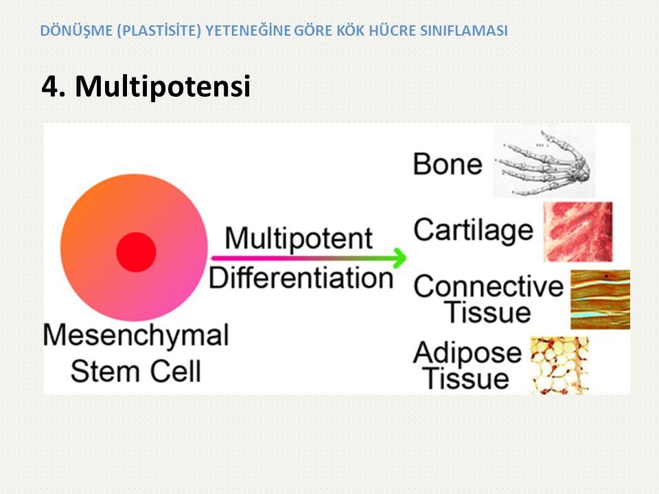 4. Multipotensi DÖNÜŞME (PLASTİSİTE) YETENEĞİNE GÖRE KÖK HÜCRE SINIFLAMASI