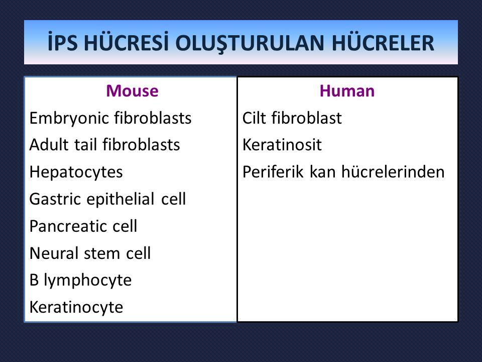 İPS HÜCRESİ OLUŞTURULAN HÜCRELER Mouse Embryonic fibroblasts Adult tail fibroblasts Hepatocytes Gastric epithelial cell Pancreatic cell Neural stem cell B lymphocyte Keratinocyte Human Cilt fibroblast Keratinosit Periferik kan hücrelerinden