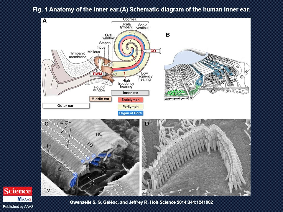 Fig. 1 Anatomy of the inner ear.(A) Schematic diagram of the human inner ear. Gwenaëlle S. G. Géléoc, and Jeffrey R. Holt Science 2014;344:1241062 Pub