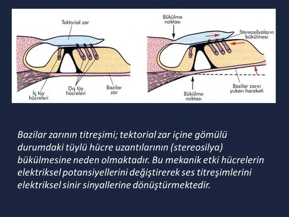 Bazilar zarının titreşimi; tektorial zar içine gömülü durumdaki tüylü hücre uzantılarının (stereosilya) bükülmesine neden olmaktadır.