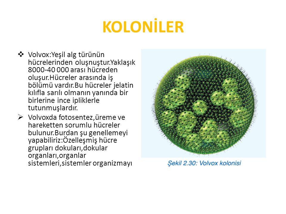 KOLONİLER  Volvox:Yeşil alg türünün hücrelerinden oluşnuştur.Yaklaşık 8000-40 000 arası hücreden oluşur.Hücreler arasında iş bölümü vardır.Bu hücreler jelatin kılıfla sarılı olmanın yanında bir birlerine ince ipliklerle tutunmuşlardır.