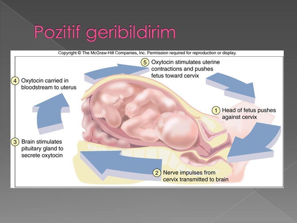 beyin pituitary gland FSH ovaryum östrojen uterus 1515