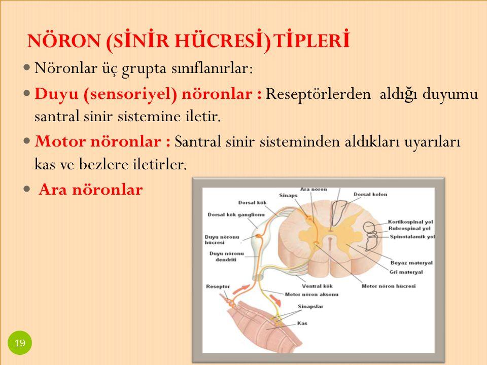 NÖRON (S İ N İ R HÜCRES İ ) T İ PLER İ Nöronlar üç grupta sınıflanırlar: Duyu (sensoriyel) nöronlar : Reseptörlerden aldı ğ ı duyumu santral sinir sis