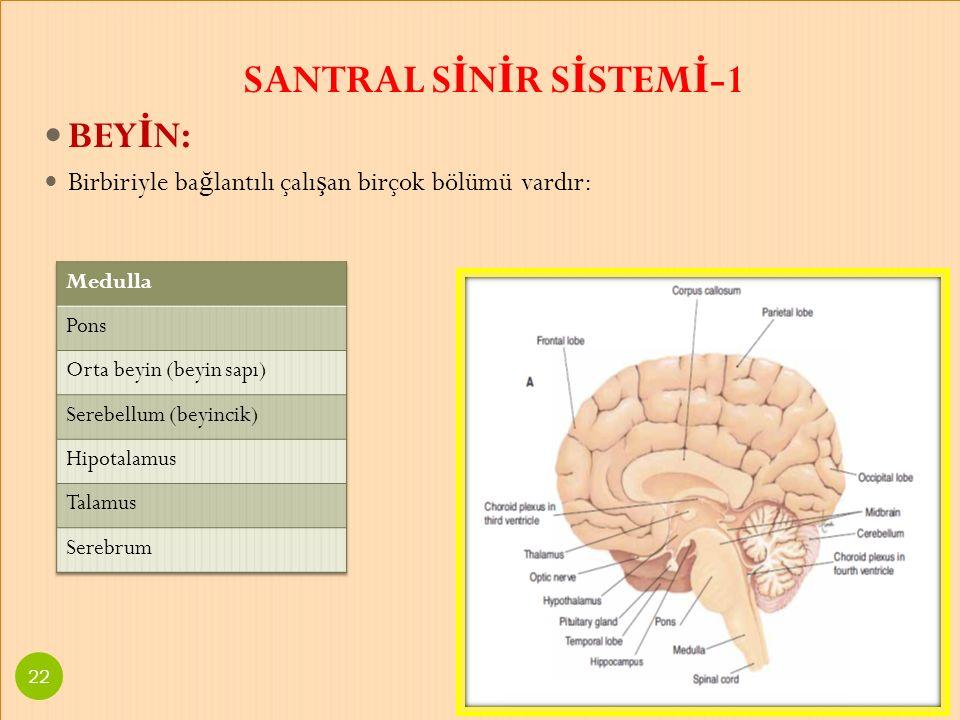 SANTRAL S İ N İ R S İ STEM İ -1 BEY İ N: Birbiriyle ba ğ lantılı çalı ş an birçok bölümü vardır: SANTRAL S İ N İ R S İ STEM İ -1 BEY İ N: Birbiriyle b