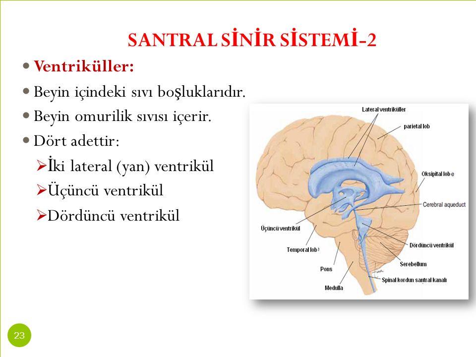 SANTRAL S İ N İ R S İ STEM İ -2 Ventriküller: Beyin içindeki sıvı bo ş luklarıdır. Beyin omurilik sıvısı içerir. Dört adettir:  İ ki lateral (yan) ve