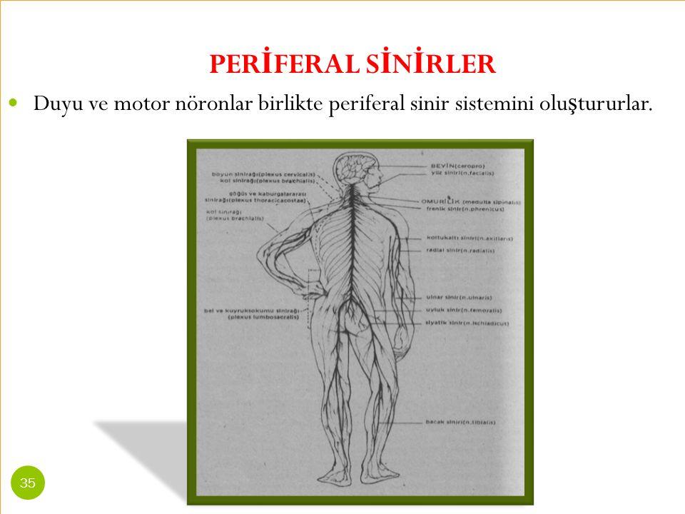 PER İ FERAL S İ N İ RLER Duyu ve motor nöronlar birlikte periferal sinir sistemini olu ş tururlar. 35