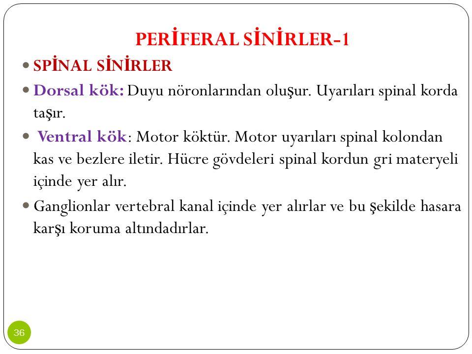 PER İ FERAL S İ N İ RLER-1 SP İ NAL S İ N İ RLER Dorsal kök: Duyu nöronlarından olu ş ur. Uyarıları spinal korda ta ş ır. Ventral kök: Motor köktür. M