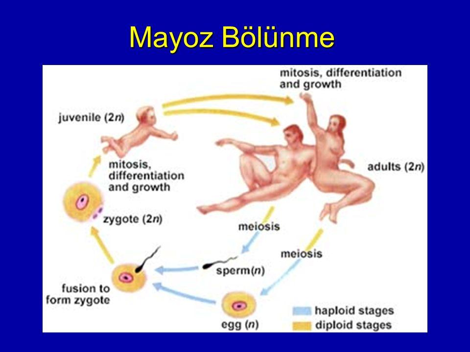 MAYOZ BÖLÜNMESİ Canlıların çoğu diploit kromozom sayısına sahiptir.