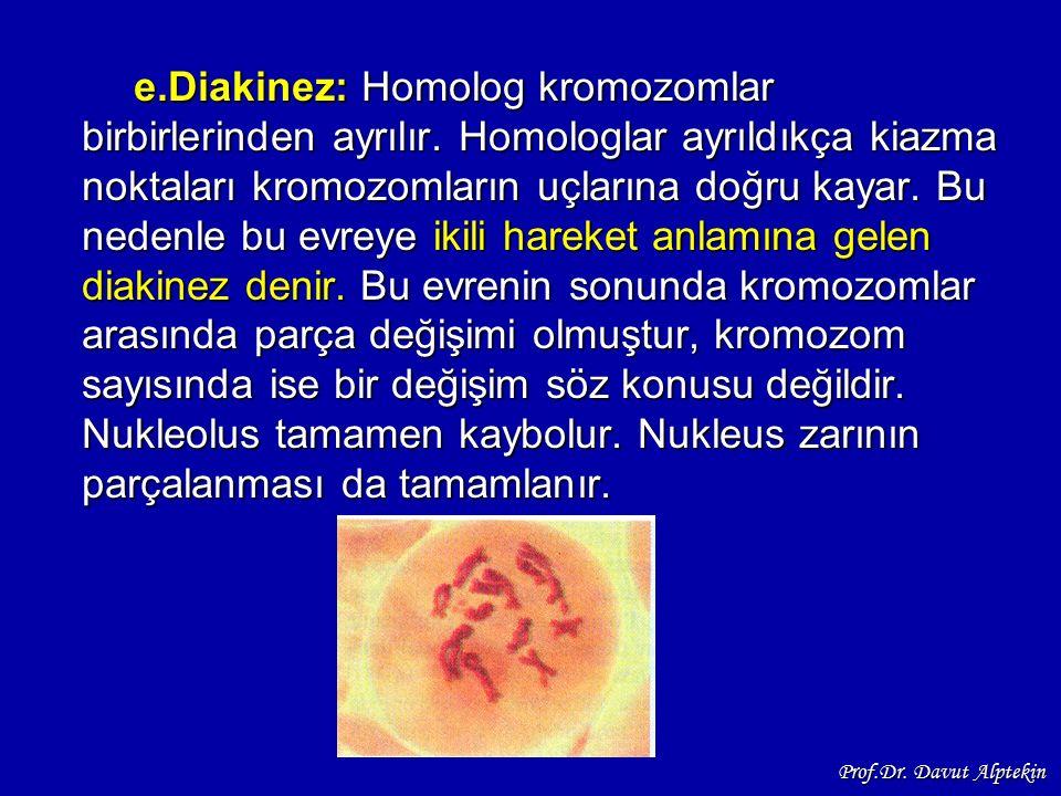 e.Diakinez: Homolog kromozomlar birbirlerinden ayrılır. Homologlar ayrıldıkça kiazma noktaları kromozomların uçlarına doğru kayar. Bu nedenle bu evrey