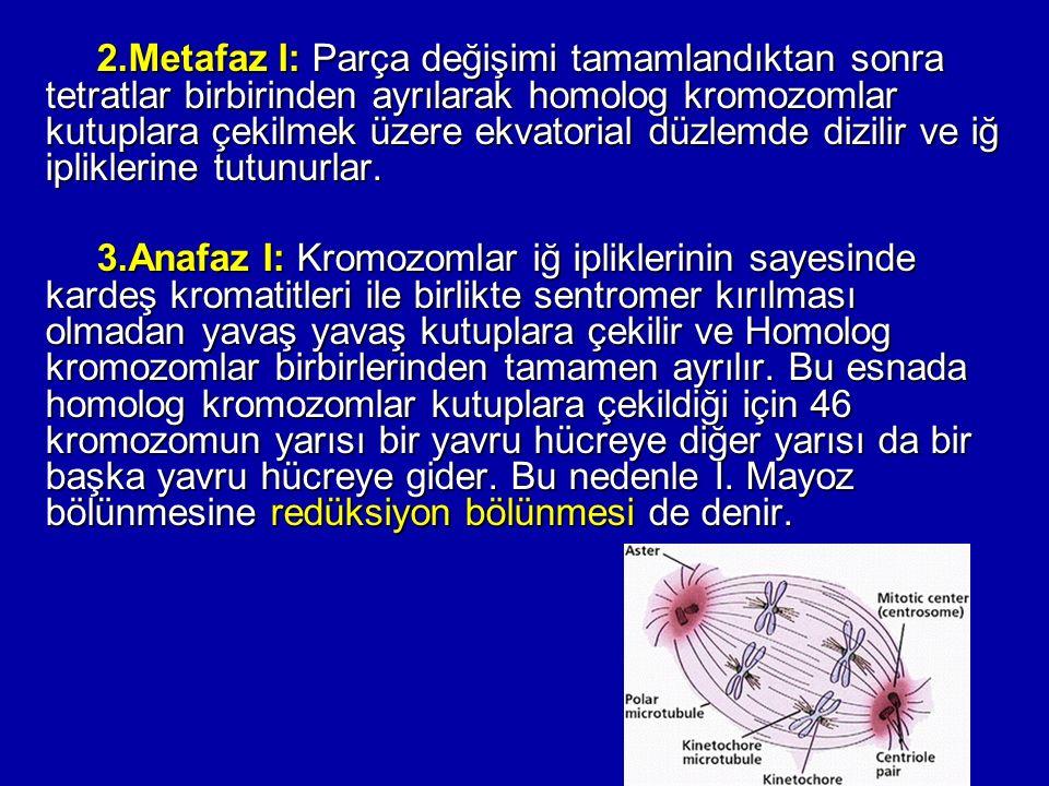 2.Metafaz I: Parça değişimi tamamlandıktan sonra tetratlar birbirinden ayrılarak homolog kromozomlar kutuplara çekilmek üzere ekvatorial düzlemde dizi