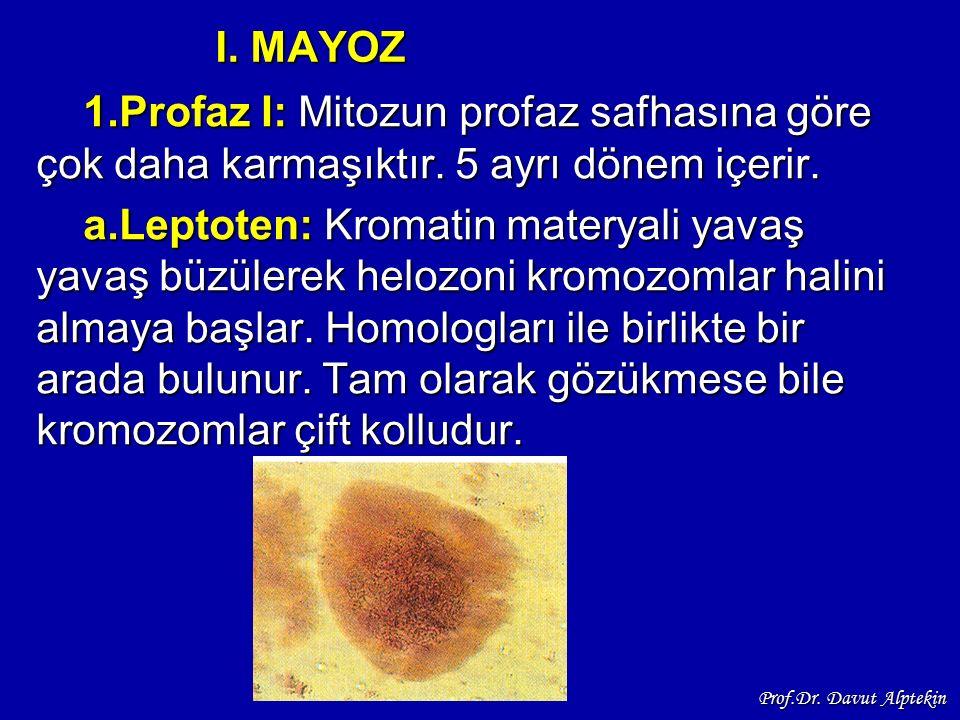 I. MAYOZ 1.Profaz I: Mitozun profaz safhasına göre çok daha karmaşıktır. 5 ayrı dönem içerir. a.Leptoten: Kromatin materyali yavaş yavaş büzülerek hel