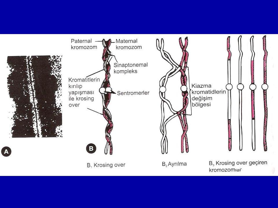 Sinaptonemal Kompleks Mayoz bölünme sırasında, genetik çeşitliliğin sebebi olan Krossing over'de kromozomların eşleşmesini sinapsisler aracılığıyla sağladığı düşünülen, iki homolog kromozom arasında bulunan proteinden oluşan yapıdır.