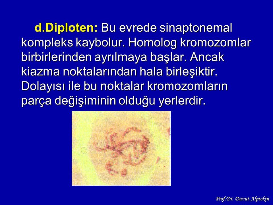 d.Diploten: Bu evrede sinaptonemal kompleks kaybolur. Homolog kromozomlar birbirlerinden ayrılmaya başlar. Ancak kiazma noktalarından hala birleşiktir