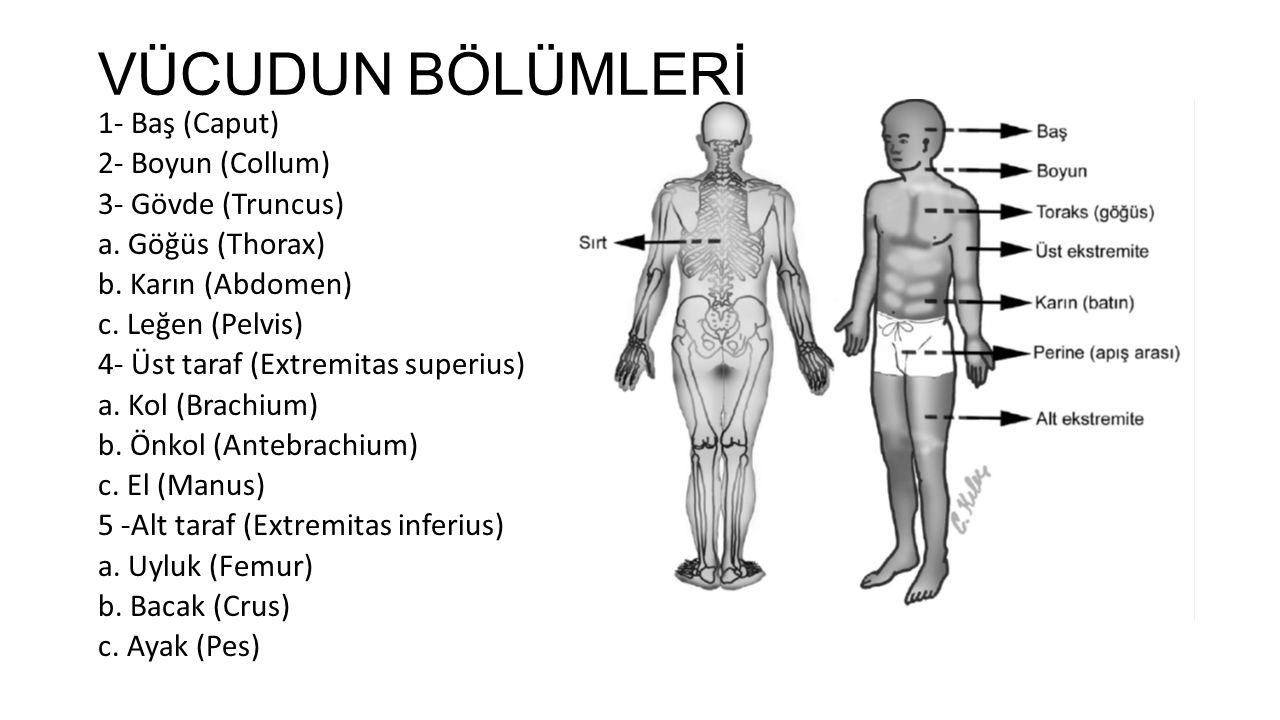 VÜCUDUN BÖLÜMLERİ 1- Baş (Caput) 2- Boyun (Collum) 3- Gövde (Truncus) a.
